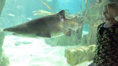 Favorisi gitar köpekbalığı