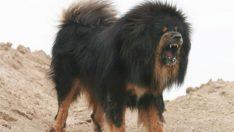 750 bin dolarlık köpekler!