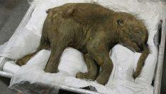 39 bin yaşındaki mamut sergileniyor