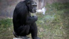 Bu şempanze günde 1 paket sigara içiyor