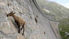 Baraj setine tırmanan keçiler, görenleri şoke ediyor!