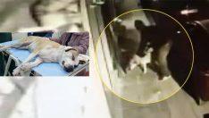 İstanbul Fatih'te kağıt toplayıcısının tecavüz ettiği köpek koruma altına alındı!