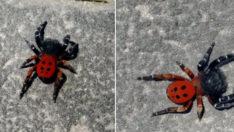 Eskişehir'de uğur böceği örümceği görüldü